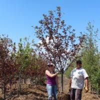 schubert chokecherry trees online