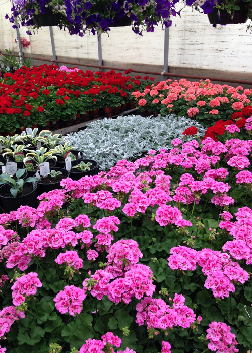 Annuals and perennials from our own greenhouses