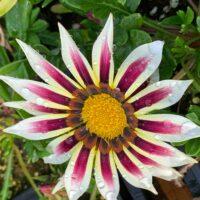 gazania new day rose stripe