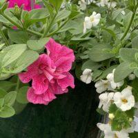 double wave pink petunia hanging basket