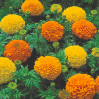 Marigold Inca II Mix