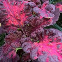 coleus dragon black