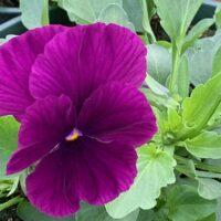 purple inspire plus pansy