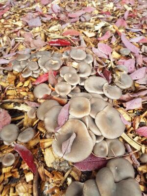 mushroom trays