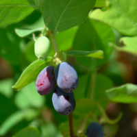 borealis honeyberry