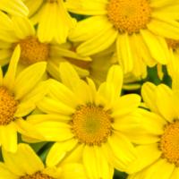 argyranthemum, marguerite daisy, golden butterfly