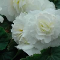 non-stop white begonia