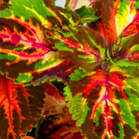 coleus multicolour rainbow