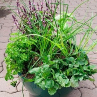 mixed herb garden