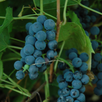 valiant grape vine