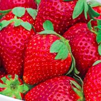 fort laramie everbearing strawberries