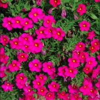 calibrachoa callie rose