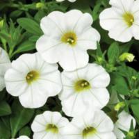calibrachoa callie white